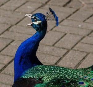 Peacock3