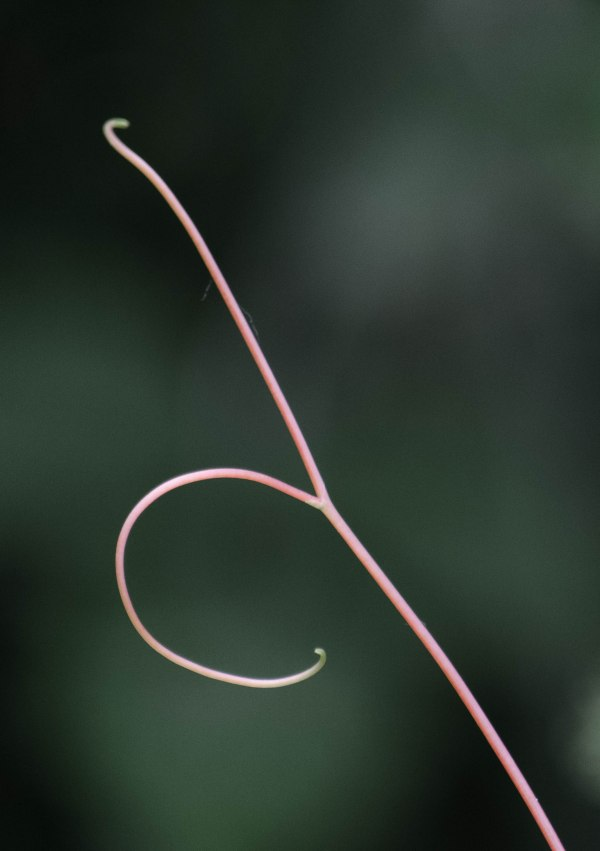 grapevine tendril