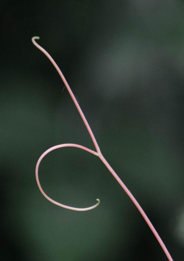 grapevine tendril