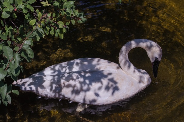 Swan in Shade
