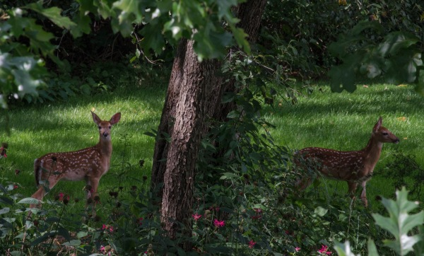 Fawns in the Flowers