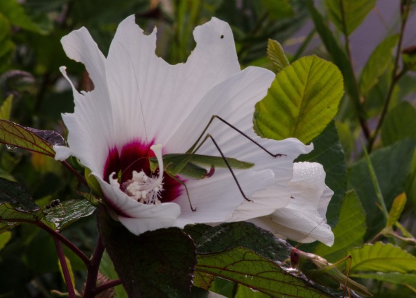 Grasshoppers at Breakfast Buffet
