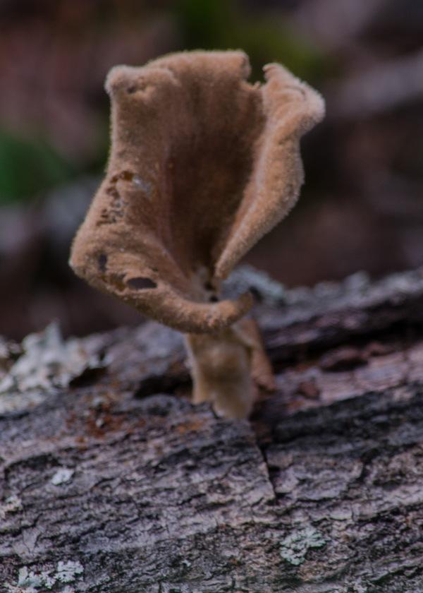 Trumpet Mushroom?
