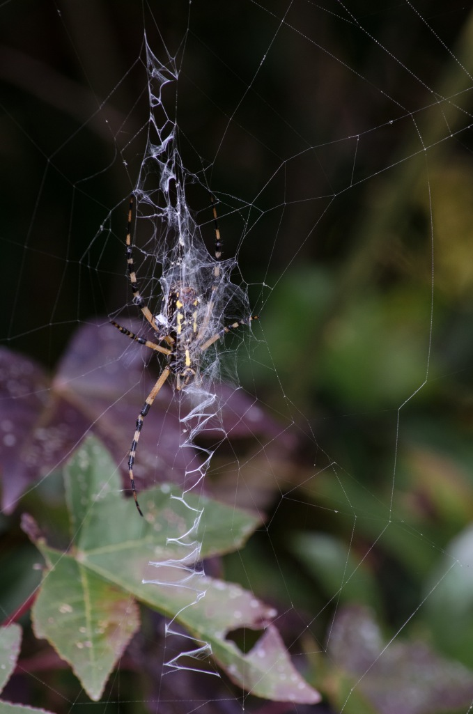 4-5 Inch Spider with Spiral Web
