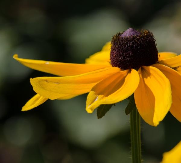 Sun Petals