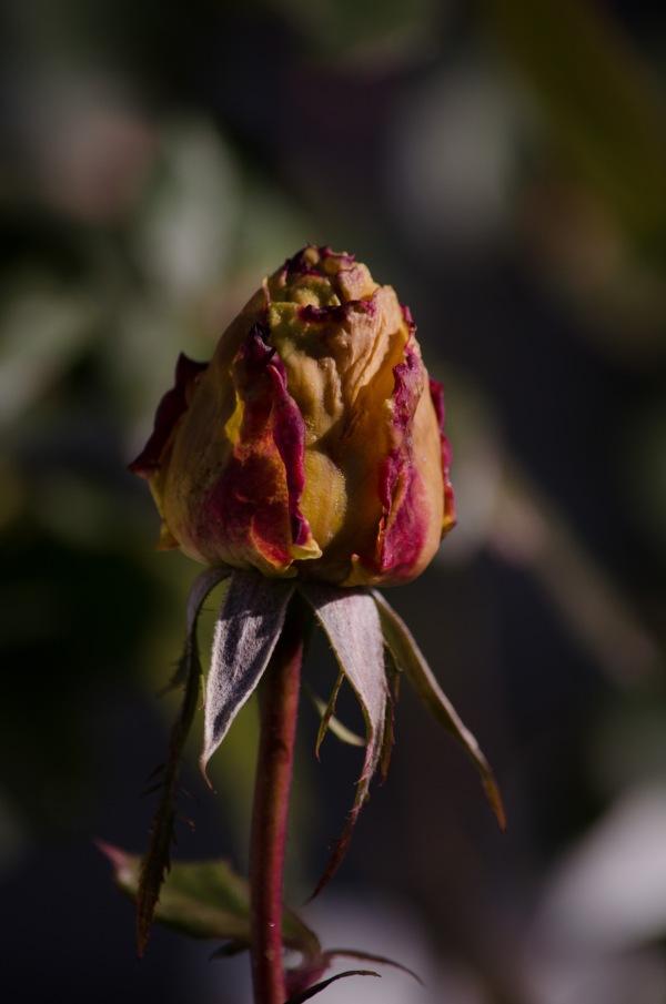 Summer's Last Rose.
