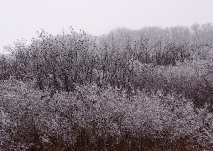 Iced Bushes &  Trees