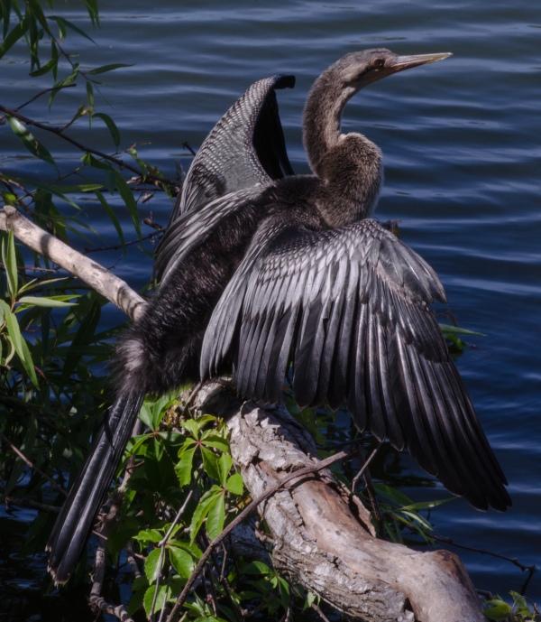 Anhinga with Spread Wings