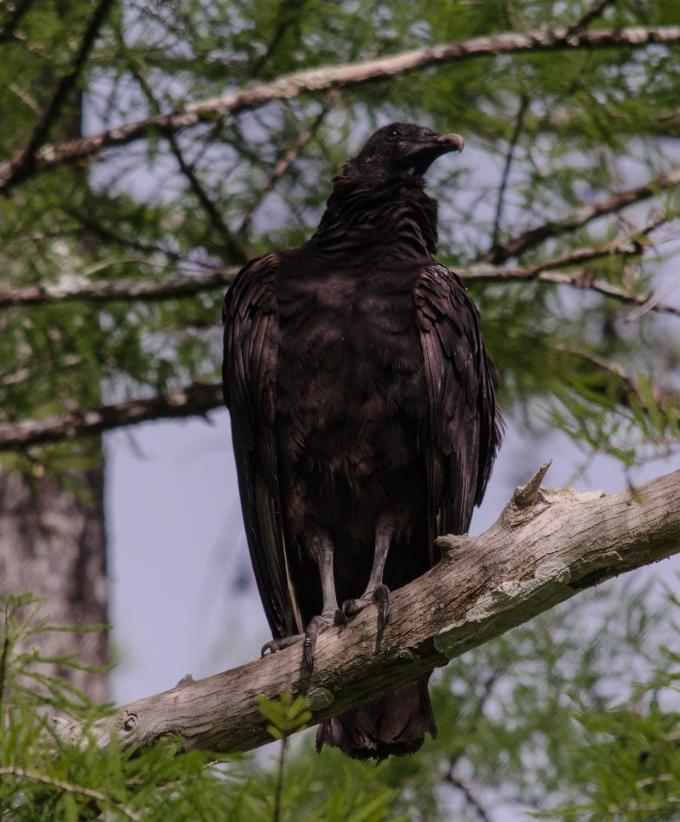 Black Vulture (much rarer than the Turkey Vulture)