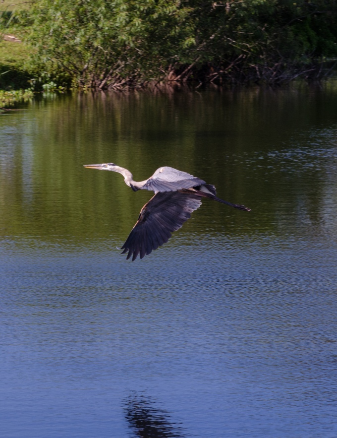 Great Blue in Flight