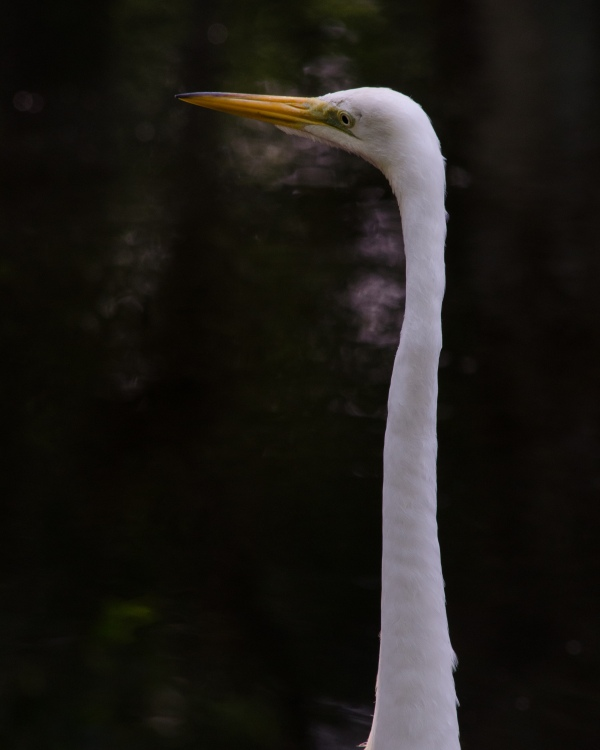 Great Egret Neck Extended
