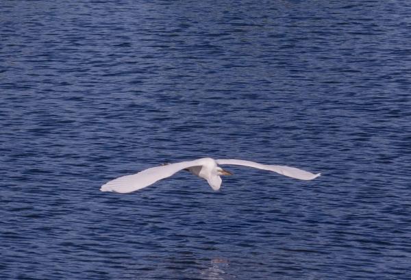Great White in Flight