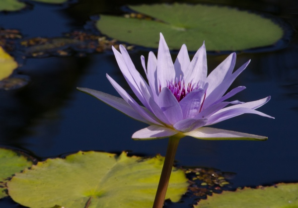lavender water lily