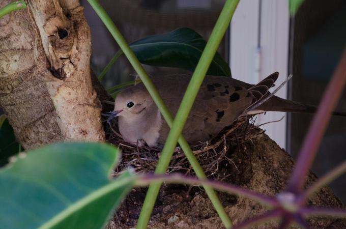 Mama Mourning Dove