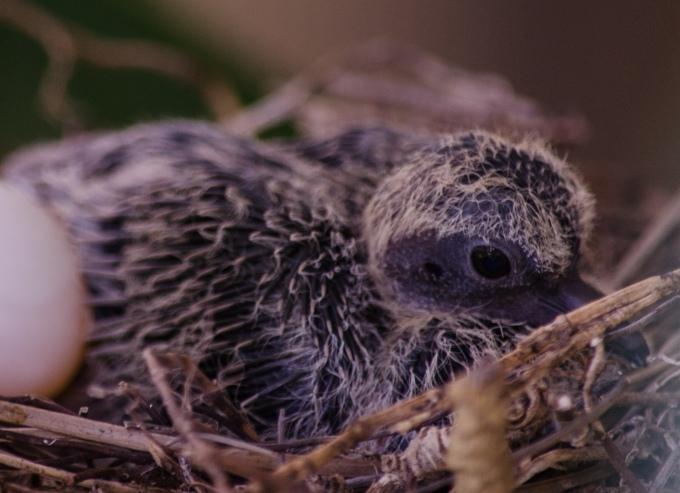 Hatchling Mourning Dove