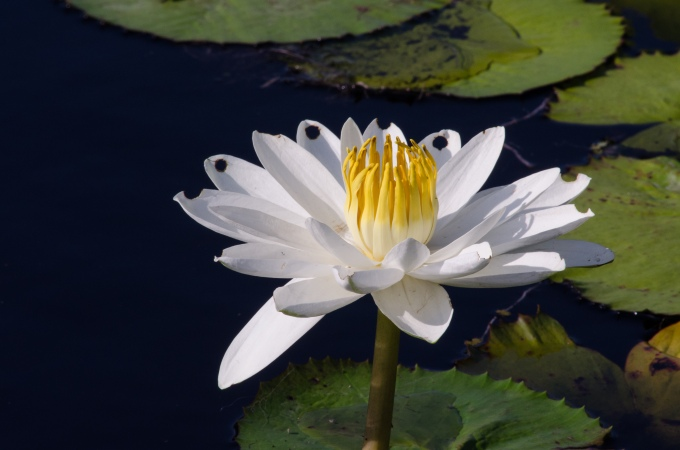 water lily for lunch
