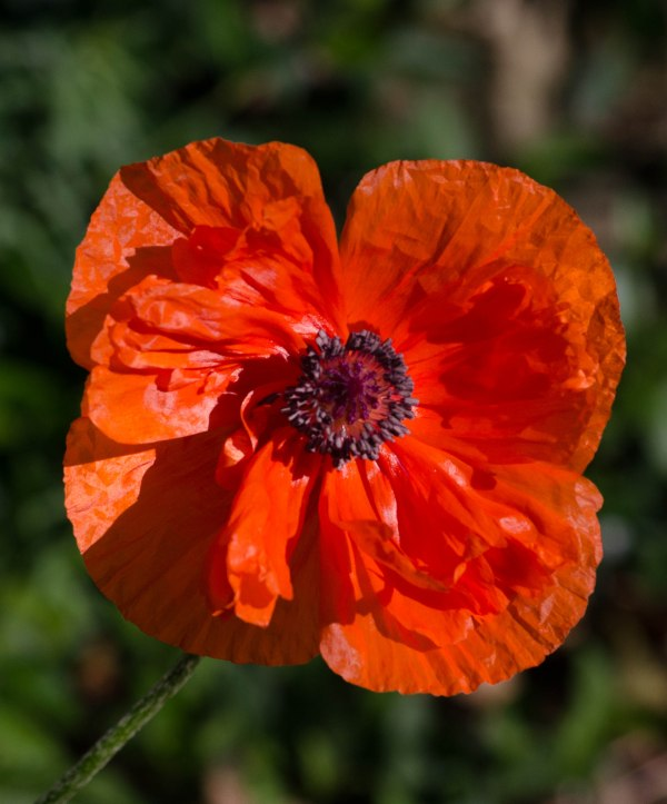 Poppy in Morning Sun