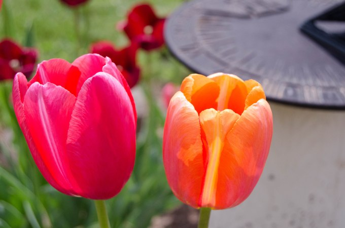 Tulips and Sundial