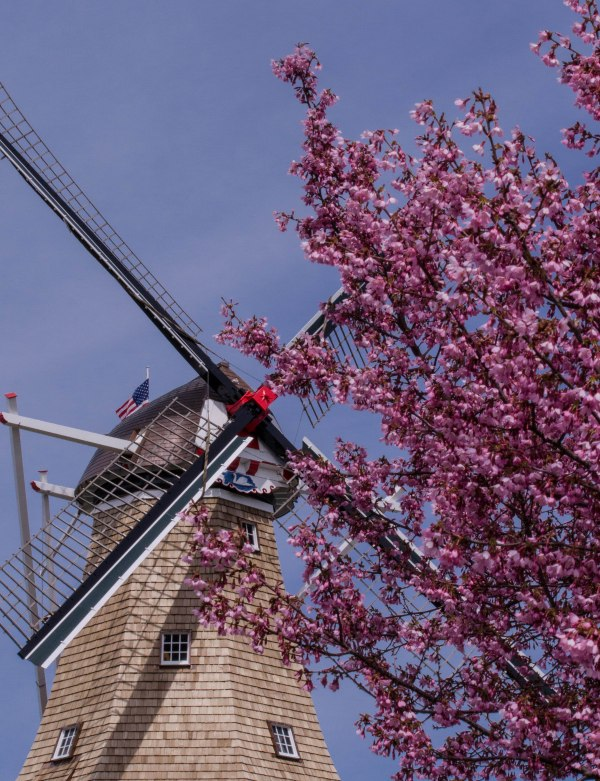 Windmill and Blossoms