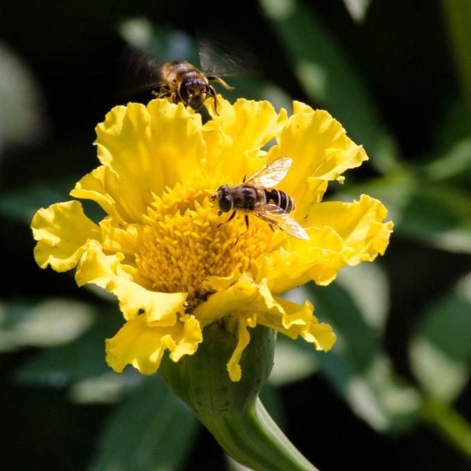 Bees in our Flower Garden