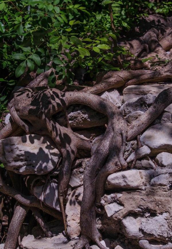 Roots Breeching Stone Wall
