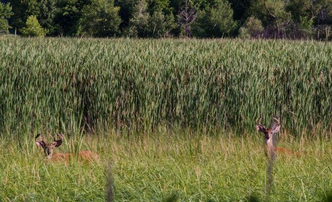 Two Bucks in Tall Grass