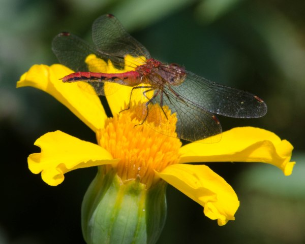 Flower and Dragonfly