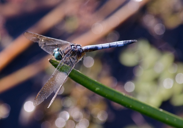 dragonflyold