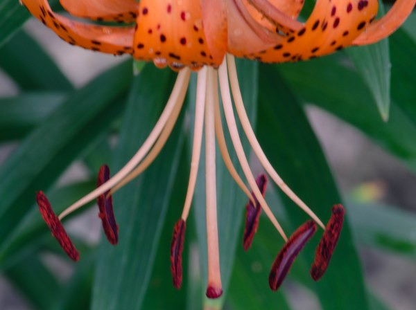 Tiger Lily (my favorite flower)