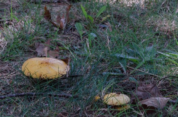 Two Yellow 'Shrooms