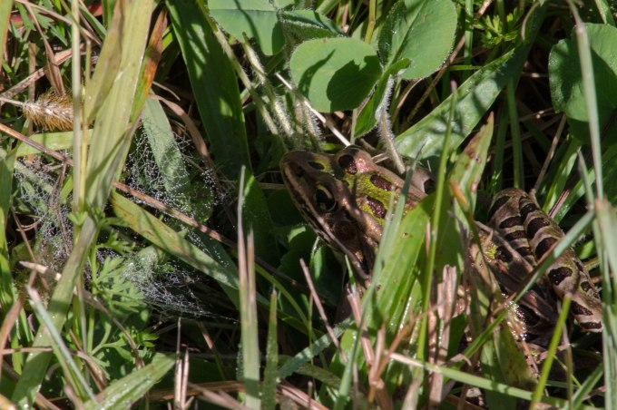 Frog and Webs