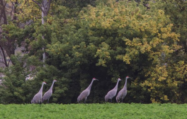 5 Sandhill Cranes (out of more than 100!)