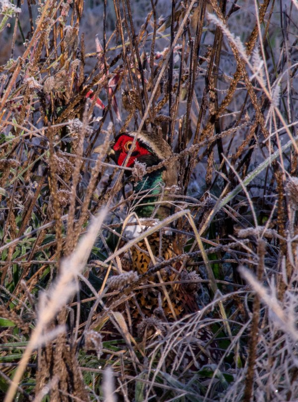 "Pheasant: ""You can't see me."" Me: ""Yes I can."""