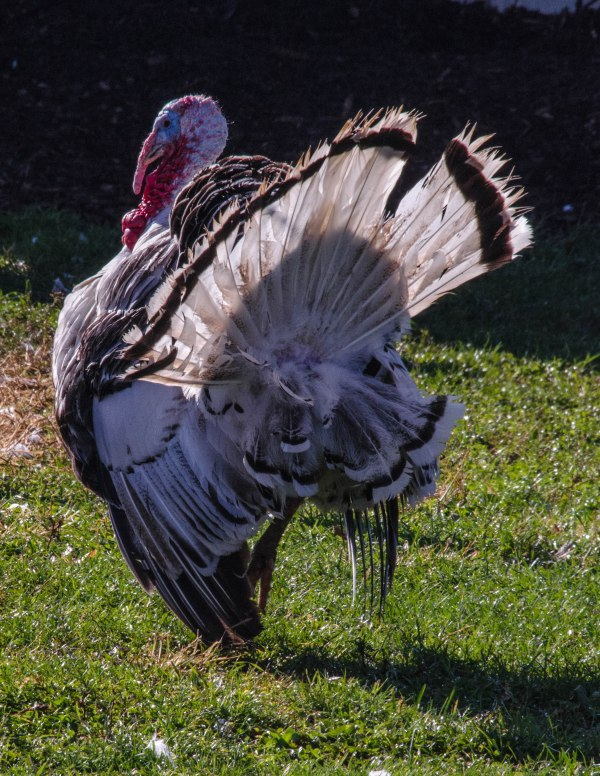 Domestic Turkey (campaigning for duck for the Thanksgiving bird)