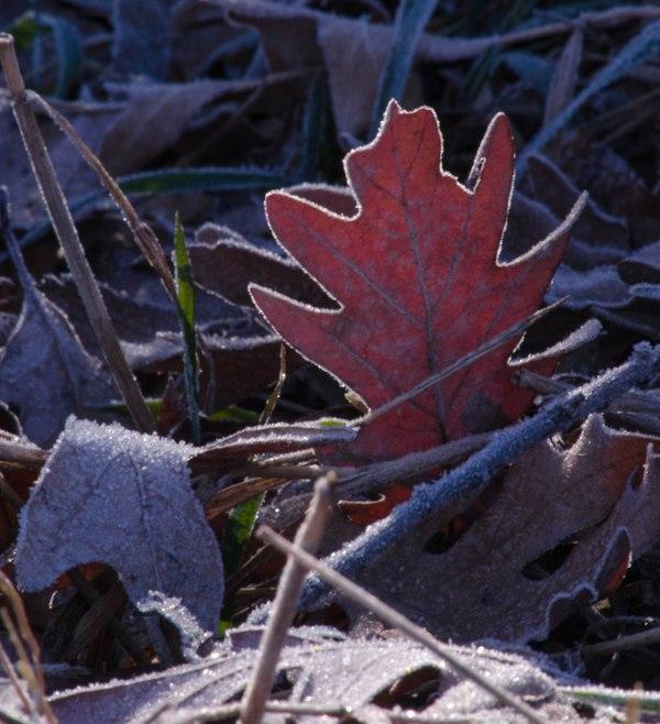 Back-lit Leaf