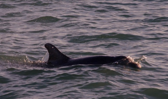 Dophin Swimby