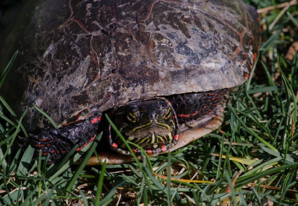 Migrating Turtles