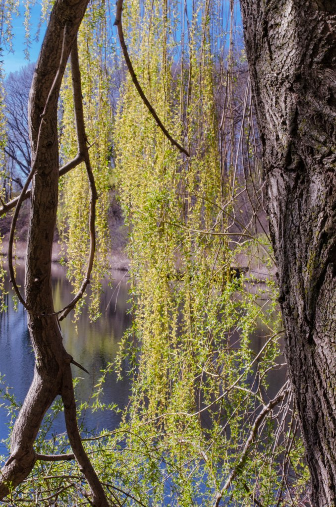 Willow Leaves in Spring