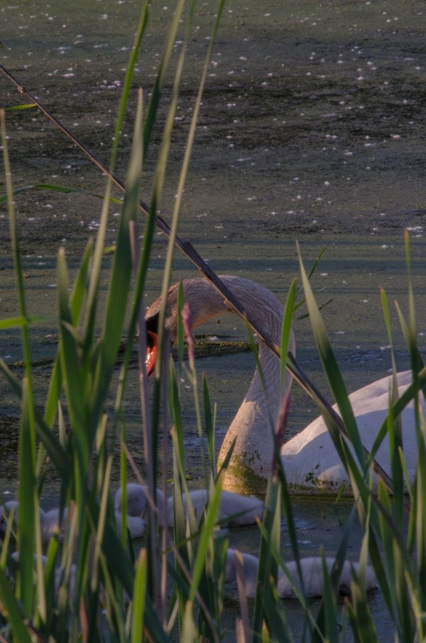 Mom and cygnets as seen from the road.