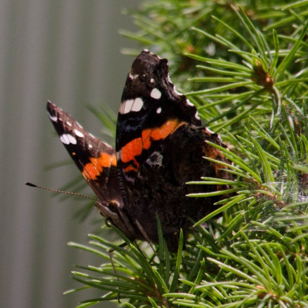 Butterfly and Pine