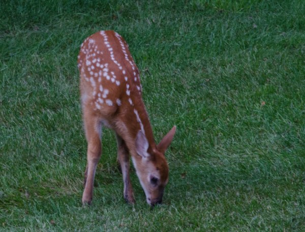 A fawn heads toward the salad bar (aka flower bed)