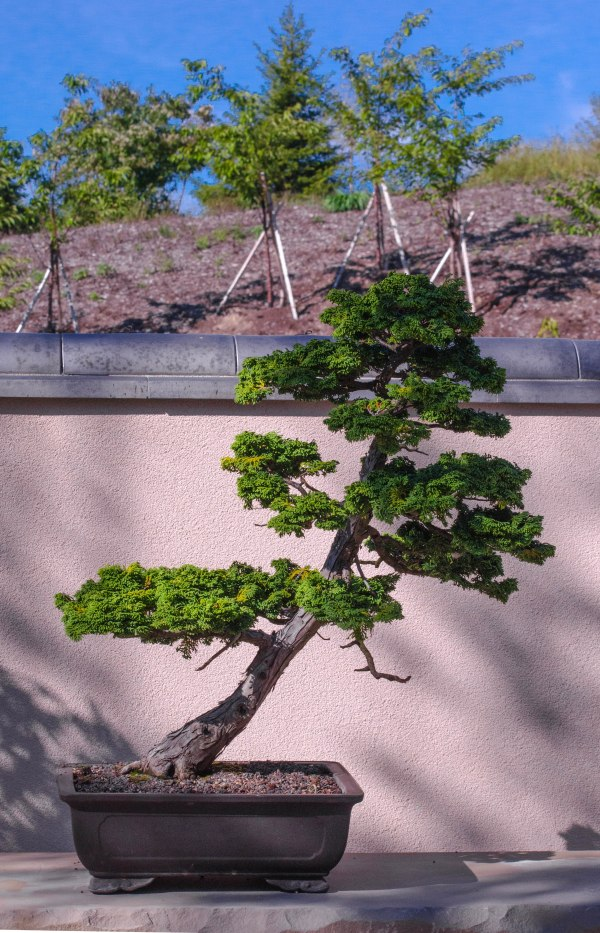 Old and new  (bonsai with staked trees)