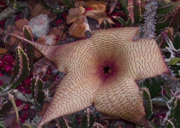 Star Cactus