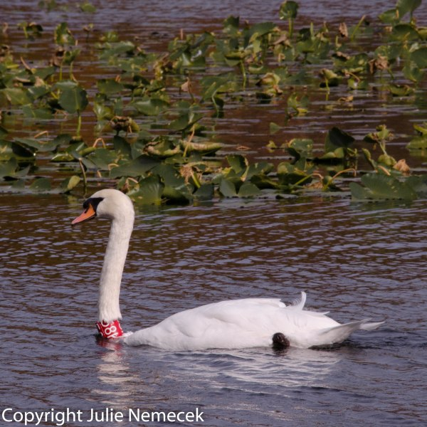 Mute Swan (banded for tracking)