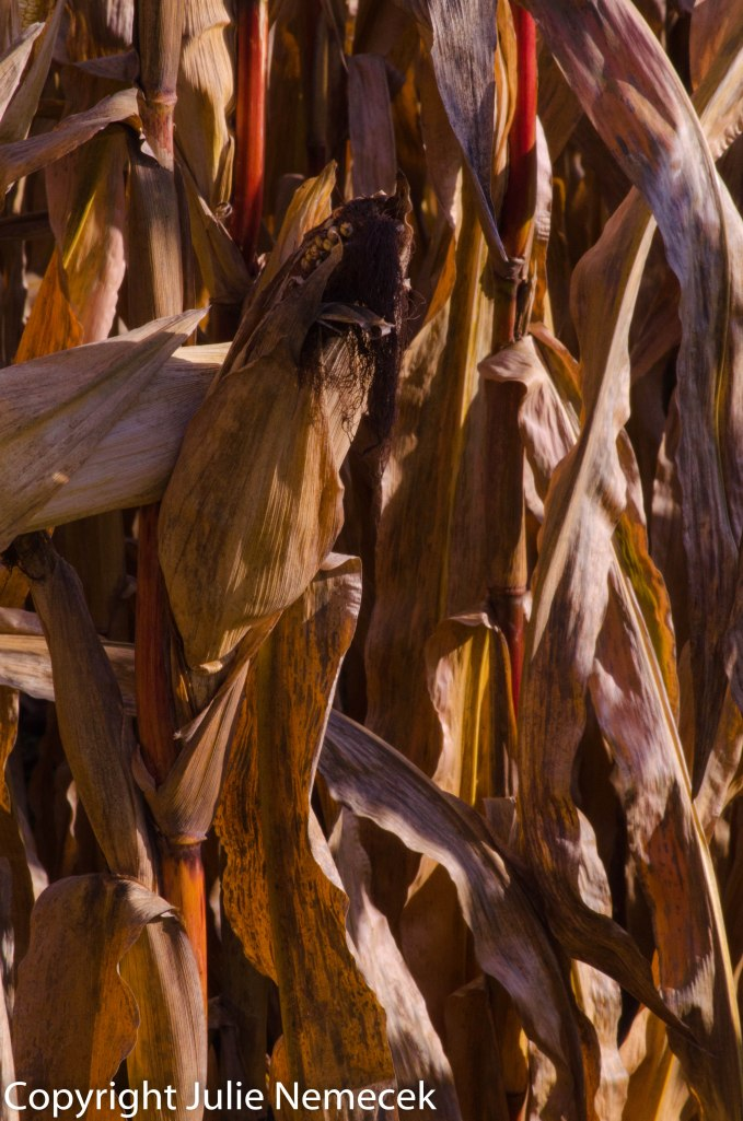 Most field corn is still drying on its stalk, which the deer do enjoy.