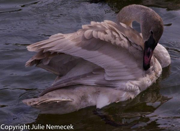 Immature Trumpeter Swan Grooming