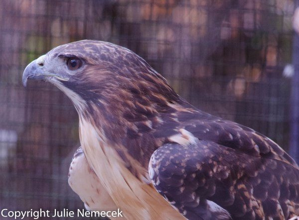 Red Tail Profile
