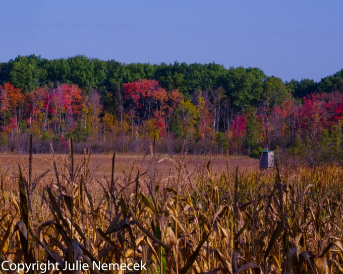 A tree stand for deer hunting seems to be near every cornfield.