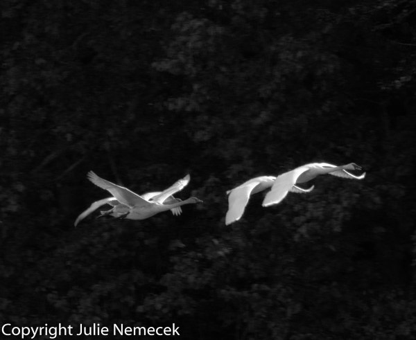 In Flight Black and White