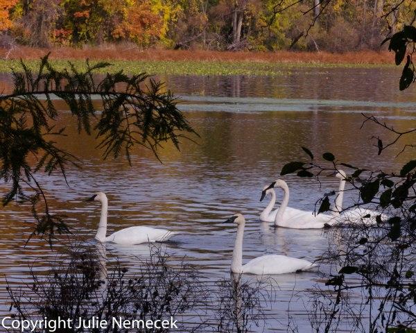 Trumpet Swans